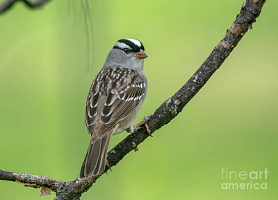 Photograph - White-crowned Sparrow by Cheryl Baxter