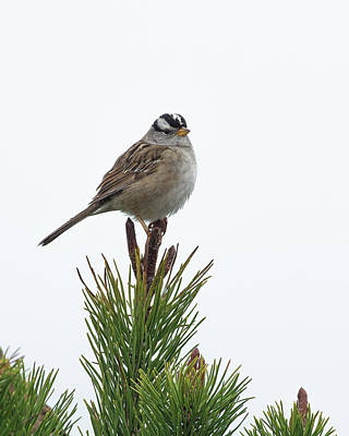 Photograph - White Crowned Sparrow by Jim Zablotny