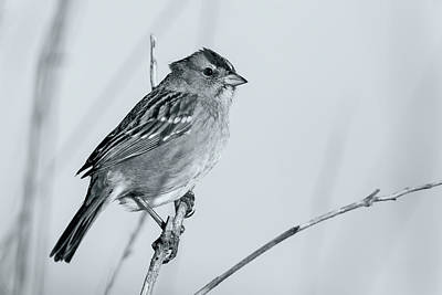 Photograph - White-crowned Sparrow by Jonathan Nguyen