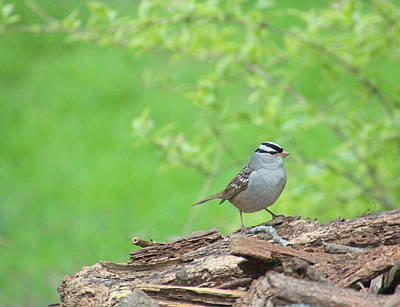 White Crowned Sparrow Art Print by Rosanne Jordan
