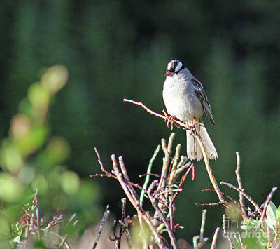 Photograph - White-crowned Sparrow by Steven Parker