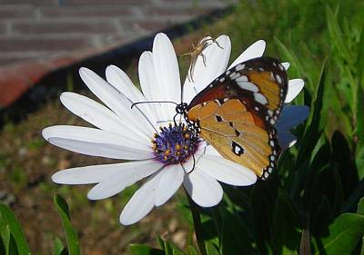 Photograph - White Daisy And Butterfly by Taiche Acrylic Art