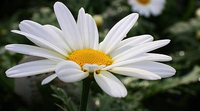 Photograph - White Daisy by Bruce Bley