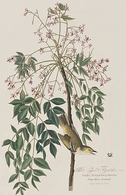 Flycatcher Drawing - White-eyed Flycatcher by John James Audubon