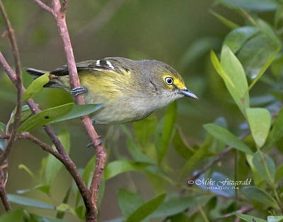 Photograph - White-eyed Vireo by Mike Fitzgerald