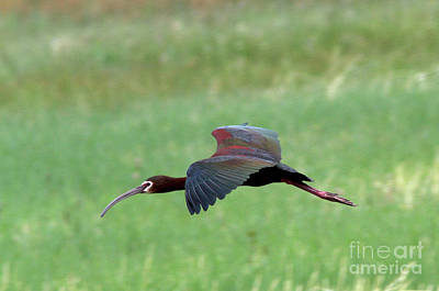 Photograph - White-faced Ibis by Gary Wing