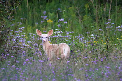 Photograph - White Fawn In Wildflowers by Brook Burling