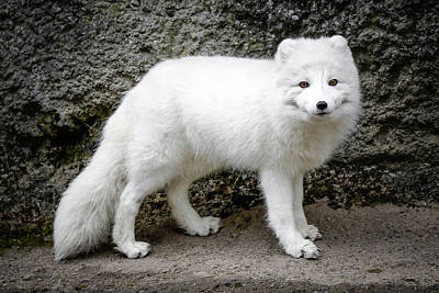 Photograph - White Fox IIi by Athena Mckinzie