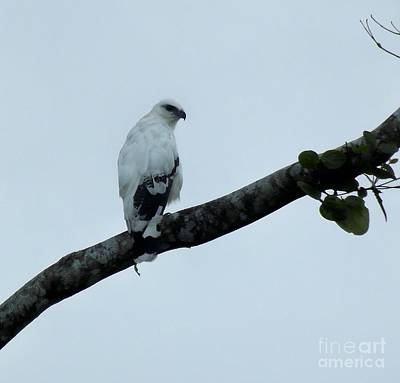 White Hawk Of Costa Rica Original by William Patterson