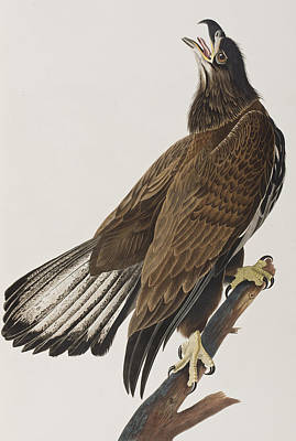 Eagle Painting - White-headed Eagle by John James Audubon