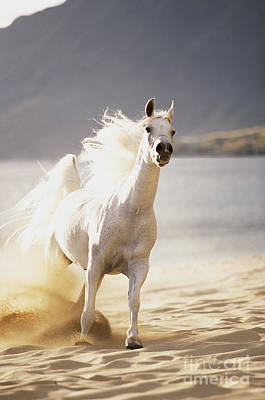 White Horse On The Beach Art Print