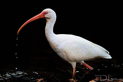 Photograph - White Ibis by David A Lane