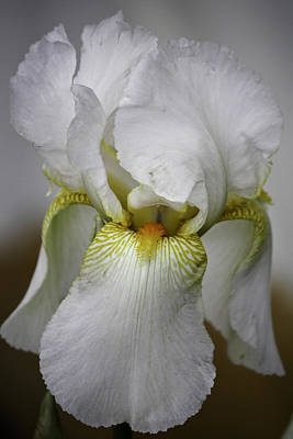 White Iris Art Print by Teresa Mucha