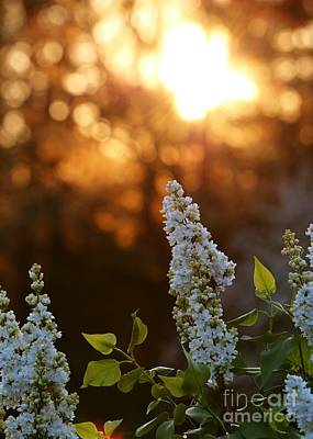 Photograph - White Lilac At Sunset by Kenny Glotfelty