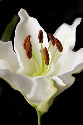 White Lily  Art Print by Xavier Cardell