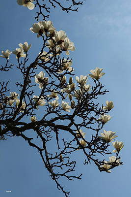 Photograph - White Magnolia by Dana Sohr