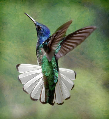 Hummingbird Photograph - White-necked Jacobin by Ecuador Images