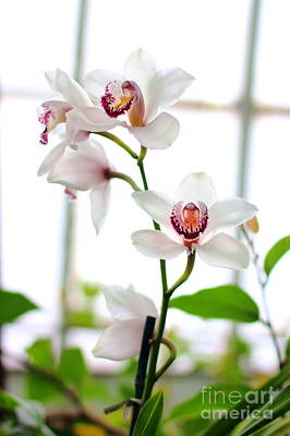 Photograph - White Orchid by Angela Rath