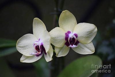 Photograph - White Orchids  by Jeannie Rhode