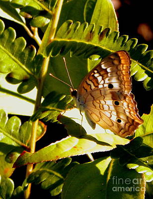 Photograph - White Peacock Butterfly by Terri Mills