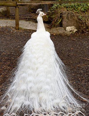 Photograph - White Peacock by Colin Rayner