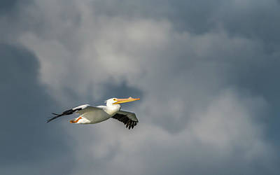 Photograph - White Pelican Flying by Framing Places
