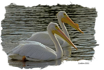 Pelican Digital Art - White Pelican Pair by Larry Linton