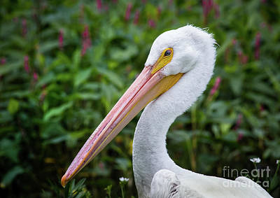 Cabin Window Photograph - White Pelican by Robert Frederick