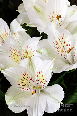 Photograph - White Peruvian Lilies In Bloom by Richard J Thompson
