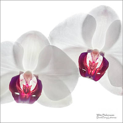 Photograph - White Phalaenopsis Orchids #3059 by David Perry Lawrence