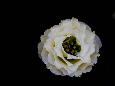Photograph - White Rose by Denise McKay