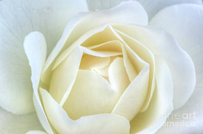 Photograph - White Rose Inocence Purity Secrecy by David Zanzinger