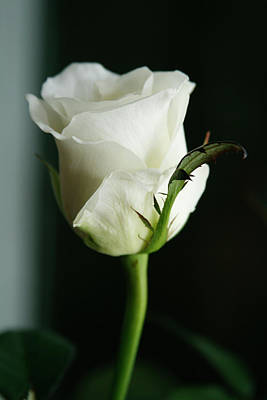 Photograph - White Rose by Masha Batkova