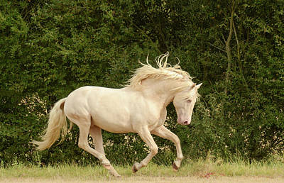 Photograph - White Stallion Cantering by Pam Kaster