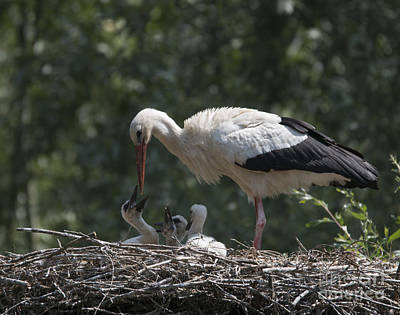 Photograph - White Stork With Their Chicks by Pietro Ebner