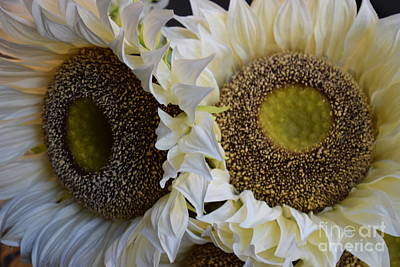 Photograph - White Sunflowers by Jeannie Rhode