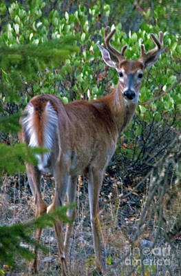 Photograph - White-tail Buck by Cindy Murphy - NightVisions