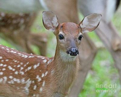 Photograph - White Tail Fawn by Dodie Ulery