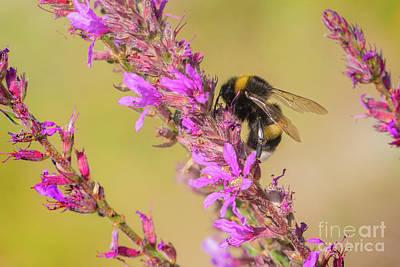 Photograph - White-tailed Bumblebee - Bombus Lucorum by Jivko Nakev