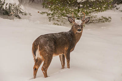 Photograph - White Tailed Deer Buck In Snow by Brenda Jacobs