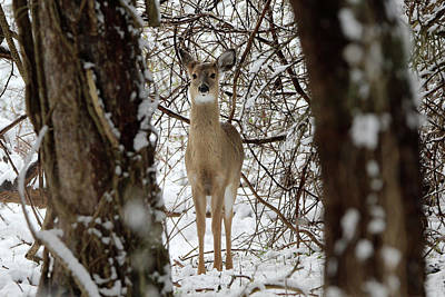 Photograph - White Tailed Deer Mt Sinai New York by Bob Savage