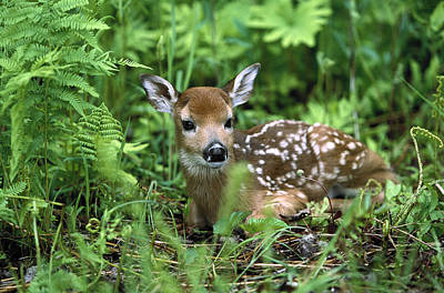 White Tail Deer Photograph - White-tailed Deer Odocoileus by Konrad Wothe