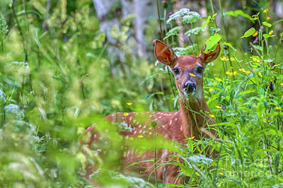 White-tailed Photograph - White-tailed Deer by Veikko Suikkanen