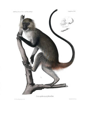 Drawing - White Throated Guenon, Cercopithecus Albogularis Erythrarchus by J D L Franz Wagner