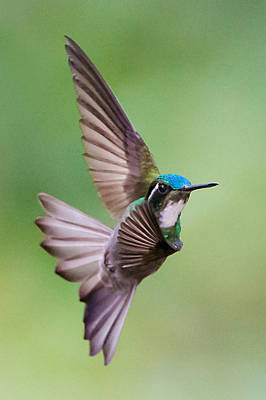 Focus On Foreground Photograph - White-throated Mountaingem Lampornis by Panoramic Images