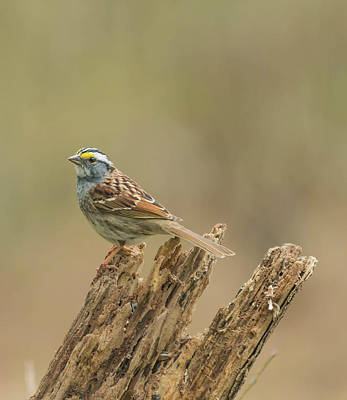 Photograph - White Throated Sparrow by Bruce Pritchett