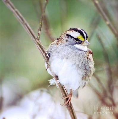 Photograph - White-throated Sparrow by Kerri Farley