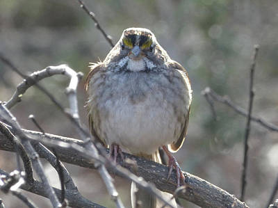 Wall Art - Photograph - White-throated Sparrow by Robert Papps