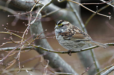 Photograph - White Throated Sparrow by Steve Gravano