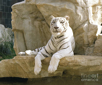 Photograph - White Tiger by John Bowers